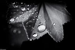 water (fhenkemeyer) Tags: hmm macromonday water droplets nature leaf macro bw abstract bokeh fourelementswater