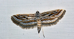 ecosystem/fauna/Crambid Moth(Parapoynx fluctuosalis) (biodiversity western ghats(before it is gone)) Tags: taxonomy:binomial=parapoynxfluctuosalis crambidae acentropinae diversityindia indianmoths