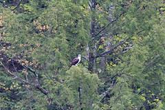 mttom2019-187 (gtxjimmy) Tags: nikond7500 nikon d7500 tamron 150600mm holyoke massachusetts newengland spring bird mttom osprey hawk fishhawk raptor birdofprey