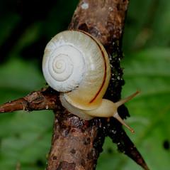 ecosystem/fauna/Land Snail(Chloritis propinqua) (biodiversity western ghats(before it is gone)) Tags: taxonomy:binomial=chloristispropinqua stylommatophora helicoidea camaenidae hadrinae diversityindia