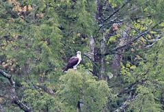mttom2019-182 (gtxjimmy) Tags: nikond7500 nikon d7500 tamron 150600mm holyoke massachusetts newengland spring bird mttom osprey hawk fishhawk raptor birdofprey