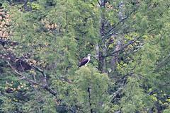 mttom2019-179 (gtxjimmy) Tags: nikond7500 nikon d7500 tamron 150600mm holyoke massachusetts newengland spring bird mttom osprey hawk fishhawk raptor birdofprey