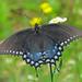 Spicebush swallowtail in fleabane
