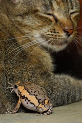 Frog and cat (Isoba H.) Tags: frog cat amphibian animals