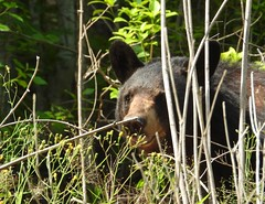 7985ex  peeking from the weeds (jjjj56cp) Tags: ursa bear blackbear americanblackbear carnivore omnivore inthewild smokies tn tennessee driveby woods woodlands forest foraging spring springtime april p1000 coolpixp1000 nikoncoolpixp1000 jennypansing closeup wildlife