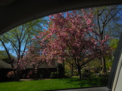 DSCN4102 (tombrewster6154) Tags: pink flower petals spring tree blossoms sunshine datyime picture photograph photography digital camera green leaves grass house second week april 2019 front yard street level scenery residential neighborhood bushes shrubbery wednesday midweek branches bark