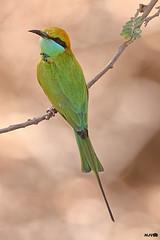 Green Bee-eater (harshithjv) Tags: bird birding green beeeater greenbeeeater merops orientalis coraciiformes meropidae aves avian canon 80d tamron bigron g2 600mm