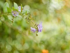 Desde el jardín... (Irene Carbonell) Tags: jardines violeta flores blossom flowers nature naturaleza 35mm nikon