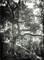 Backlit Tree - Negative (Blurmageddon) Tags: 5x7 largeformat wetplatecollodion senecaimprovedview epsonv700 alternativeprocess newguynegativecollodion limekilncanyonpark landscape tree