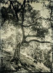 Backlit Tree - Tintype (Blurmageddon) Tags: 5x7 largeformat wetplatecollodion senecaimprovedview epsonv700 alternativeprocess alumitype tintype newguycollodion limekilncanyonpark landscape tree