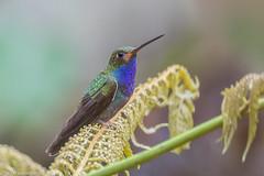 CA3I2115-Rufous-gaped Hillstar (tfells) Tags: rufousgapedhillstar hummingbird bird nature wildlife ecuador eldescansolodge mindo urochroabougueri