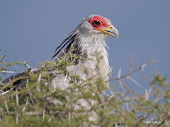 Secretarybird Sagittarius serpentarius (nik.borrow) Tags: bird secretarybird raptor ndutu