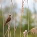 Great reed warbler (Acrocephalus arundinaceus) - male