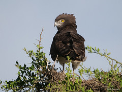 Black-chested Snake Eagle Circaetus pectoralis (nik.borrow) Tags: bird snakeeagle raptor ndutu