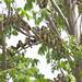 Dicksissel, Pájaro Arrocero, Spiza americana 199A8007