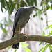 Crane Hawk, Gavilán Zancón, G.caerulescens  199A7417
