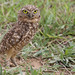 Burrowing Owl, Mochuelo de Hoyo, Speotyto cunicularia 199A7335