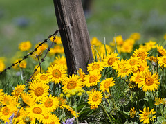 Don't Fence me in (Team Hymas) Tags: yellow flowers wild columbiariver gorge