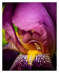 Iris (philturp) Tags: fleur macro plantes iris flower jardin abstraction couleurs série jaune orange violet larochesuryon vendée france