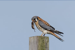 American Kestrel / Crécerelle d'Amérique (shimmer5641) Tags: falco sparverius falcosparverius americankestrel crécerelledamérique americankestreladultmale cernícaloamericano birdofbritishcolumbia birdofnorthamerica falcon raptor birdofprey falconidaefamily