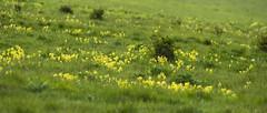 Cowslips in the Grass (stevedewey2000) Tags: salisburyplain wiltshire spta sptacentre wildflowers flowers flora cowslip green yellow sony70400g sonya99 2351 widescreen
