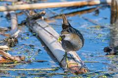 sora (Mel Diotte) Tags: sora wild nature bird marsh mel diotte explore