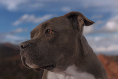 Molly (Cruzin Canines Photography) Tags: animal animals canon canoneos5ds canon5ds canine 5ds eos5ds dog dogs domesticanimal mammal molly pet pets pitbull pit pitbullterrier terrier americanpitbullterrier portrait outdoors outside nature naturallight naturepreserve gardenofthegods colorado coloradosprings