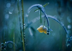 A deep Bow to Jack Frost (ursulamller900) Tags: helios442 hahnenfus meadow bokeh raureif hoarfrost yellow blue