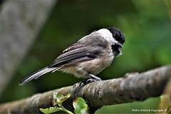 mésange boréale (Poecile montanus) (18) (Didier Schürch) Tags: nature foret branche animal oiseau mésange boréale poecilemontanus bird birdsgallery