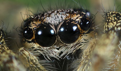 Jumping Spider (Allan Jones Photographer) Tags: jumpingspider extrememacroofjumpingspider eyesofaspider extrememacro eyes closeup arachnid nature allnjonesphotographer 5xmacro canonmpe65mmf2815xmacro spider canon5div