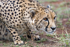 Sithle crouching (Tambako the Jaguar) Tags: cheetah big wild cat male close portrait face posing crouching attentive looking grass lionsafaripark johannesburg southafrica nikon d5