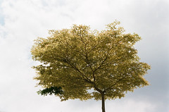 Solitary Tree (Kimi Wu 1973) Tags: canon f1 fd 3570mm f2835 ssc fujicolor c200 taiwan taichung 台灣 台中