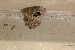 Cliff Swallow Nest (Stephen J Pollard (Loud Music Lover of Nature)) Tags: golondrinarisquera cliffswallow petrochelidonpyrrhonota bird ave