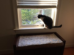 Oliver in the Window (Mr.TinDC) Tags: cat pet oliver feline kitty window tuxedocat cats cute animals quilt