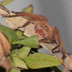 Arachnid (julie burgher) Tags: arachnid spider backyard aldingabeach southaustralia