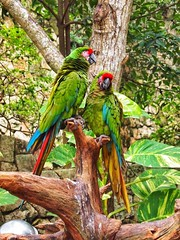 Parrots #parrot #mexico #mexican #mexicanos #mexicanas #love #birds #colour #photography #photographer #iran #iranian #persian #tehran #ottawa #montreal #toronto #vancouver #london #paris #losangeles #tokyo #japan #kyoto #berlin (Taymaz Valley) Tags: parrot mexico mexican mexicanos mexicanas love birds colour photography photographer iran iranian persian tehran ottawa montreal toronto vancouver london paris losangeles tokyo japan kyoto berlin