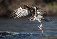 Osprey 5_7 (krisinct- Thanks for 15 Million views!) Tags: nikon d850 500 f4 vrg