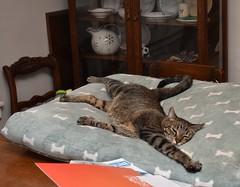 Olympic sprawl (rootcrop54) Tags: cricket male mackerel tabby striped cat dogbed sprawled sprawl olympics neko macska kedi 猫 kočka kissa γάτα köttur kucing gatto 고양이 kaķis katė katt katze katzen kot кошка mačka gatos maček kitteh chat ネコ