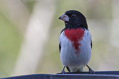 Look Left (A.Joseph Images) Tags: rosebreastedgrosbeak grosbeak bird outdoor oiseux songbird feeder nature nikkor200500mmedf56vr nikon wildlife animal montreal quebec canada red white black