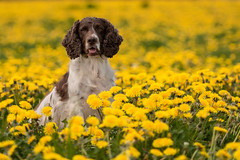 Sitting in danilions (Flemming Andersen) Tags: animal cocker outdoor yellow zigzag dandelions dog nature pet vejleøst regionofsoutherndenmark denmark