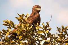 Brown Snake-eagle (roman1.furrer) Tags: brownsnakeeagle krugernationalpark