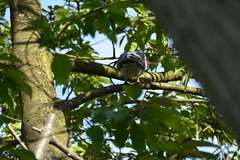 Howden (78) (rs1979) Tags: woodpigeon woodpigeons howden eastyorkshire yorkshire ashesplayingfields