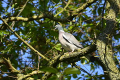 Howden (67) (rs1979) Tags: woodpigeon woodpigeons howden eastyorkshire yorkshire ashesplayingfields