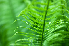 Close up of fresh bright green fern in spring with shallow depth of field (yuliablazhuk) Tags: fern green leaves macro forest nature background lush pattern leaf botanical botany branch flora foliage fresh growth plant stem tropical wild close up just opened plants spring rain micro bud blurry environment shallow blur climate closeup curl curly curve curvy dof exotic furl grow jungle backdrop texture copy vivid