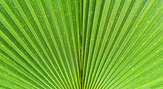 Close up of Vivid Tropical Green Palm Leaf Texture. (yuliablazhuk) Tags: tree palm leaf plant tropical abstract background foliage forest garden green macro natural nature outdoors pattern texture close leave fresh light botany closeup color detail flora growth life line organic spring summer textured vein grass banana beautiful beauty botanic bright design environment freshness healthy season sunny tropicaljungle vibrant wallpaper