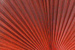 Close up of Vivid Red Tropical Palm Leaf Texture. (yuliablazhuk) Tags: tree palm leaf plant tropical abstract background foliage forest garden green macro natural nature outdoors pattern texture close leave fresh light botany closeup color detail flora growth organic summer textured vein grass banana beautiful beauty botanic bright design environment freshness healthy season sunny vibrant wallpaper coral living red jungle