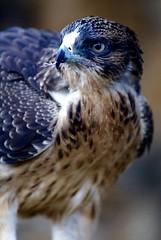 African Hawk Eagle (margaret.westrop) Tags: africanhawkeagle birds black brown cream white zomba malawi