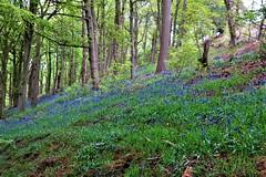 Bluebells, Haddon Estate, Peak District (HighPeak92) Tags: bluebells haddonestate peakdistrict derbyshire canonpowershotsx700hs