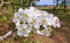 New Forest NP, Hampshire, UK (east med wanderer) Tags: england hampshire uk newforestnationalpark nationalpark lyndhurst hawthorn blossom flower crataegus