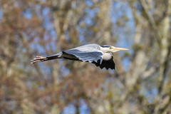 Grey heron in flight. (Frederik0711) Tags: